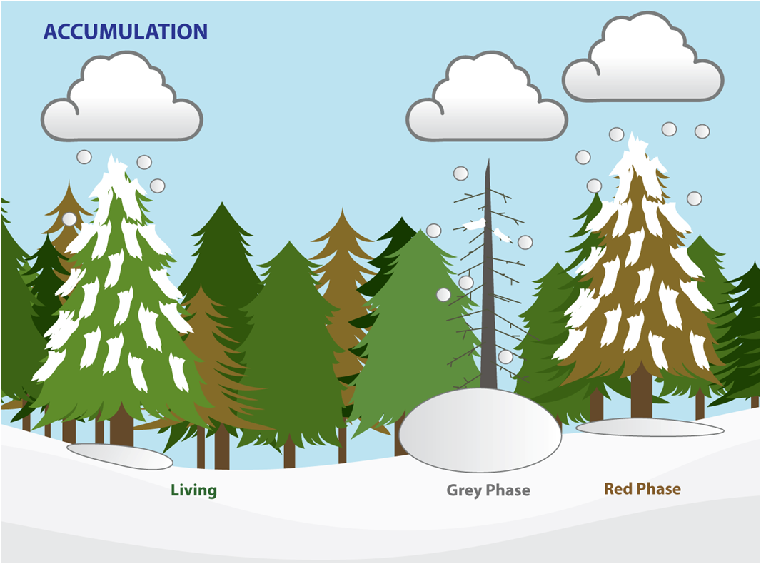 Hypothesis Canopy snow interception in red phase stands is similar to living stand interception. However once needles are shed less snow is intercepted ...  sc 1 st  Eric Small Research Group & Eric Small Research Group